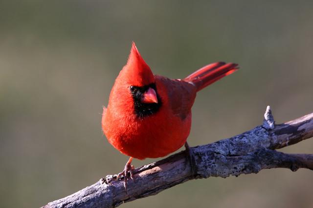 J.C. Redbird